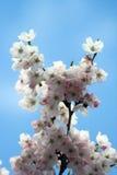 Flor de cereja Imagens de Stock Royalty Free