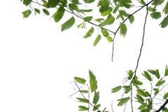Flor de cereja asiática da natureza do verão Imagem de Stock Royalty Free