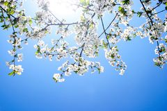 Flor de cereja bonita de encontro ao céu azul foto de stock