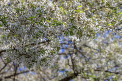 Flor de cereja branca Imagens de Stock Royalty Free
