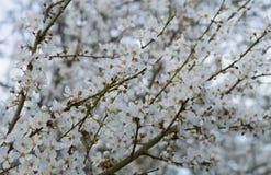 Flor de cereja branca Fotos de Stock Royalty Free