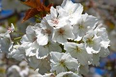 Flor de cereja branca Imagem de Stock