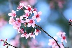 Flor de cereja cor-de-rosa Imagem de Stock