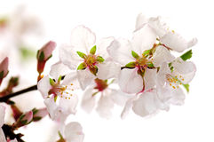 Flor de cereja cor-de-rosa fotos de stock royalty free