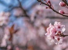 Flor de cereja cor-de-rosa imagem de stock royalty free