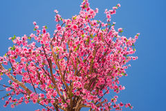 Flor de cereja cor-de-rosa Fotos de Stock