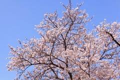Flor de cereja cor-de-rosa bonita Fotos de Stock Royalty Free
