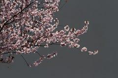 Flor de cereja cor-de-rosa com fundo cinzento da parede Imagens de Stock