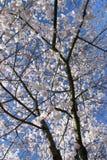 Flor de cereja de Vancôver Imagem de Stock Royalty Free
