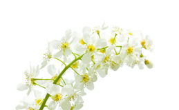 Flor de cereja do pássaro Foto de Stock Royalty Free