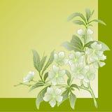 Flor de cereja do vetor. ilustração royalty free