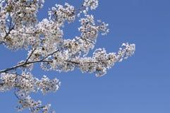 Flor de cereja e céu azul Imagem de Stock Royalty Free