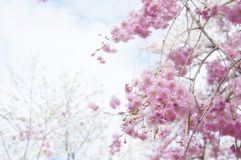 Flor de cereja em Japão fotografia de stock royalty free