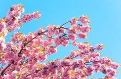 Flor de cereja japonesa cor-de-rosa Foto de Stock