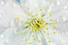 Flor de cereja molhada Imagem de Stock