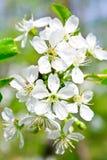 Flor de cereja na mola Foto de Stock