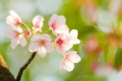 Flor de cereja na mola Fotografia de Stock Royalty Free