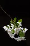 Flor de cereja no preto Fotos de Stock