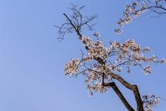 Flor de cereja no tempo de mola fotos de stock