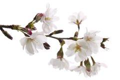Flor de cereja oriental Imagens de Stock
