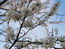 Flor de cereja selvagem Foto de Stock Royalty Free