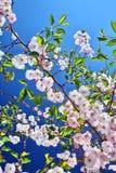 Flor de cerejeira Fotografia de Stock Royalty Free