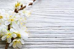 Flor de cerejeira Imagem de Stock