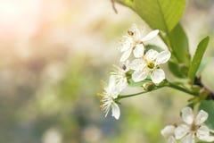 Flor de cerejeira Foto de Stock