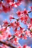 Flor de cerejeira fotografia de stock