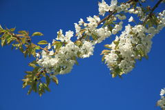 Flor de cerejeira Fotos de Stock
