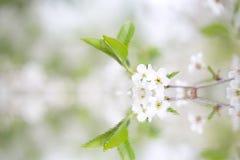 Flor de cerejeira bonita com reflexão em uma água collage S fotos de stock royalty free