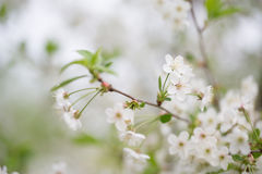 Flor de cerejeira bonita com reflexão em uma água collage S foto de stock royalty free
