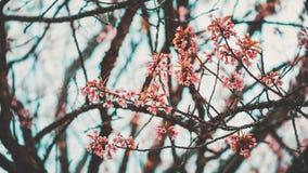 Flor de cerejeira bonita da flor de sakura na mola Imagem de Stock