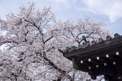 Flor de cerejeira bonita de Sakura do vintage Foto de Stock Royalty Free