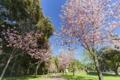 Flor de cerejeira bonita no parque regional de Schabarum Fotografia de Stock