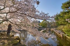 Flor de cerejeira bonita perto da lagoa Fotografia de Stock Royalty Free