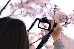 Flor de cerejeira bonita sakura no tempo de mola na m?o da mulher que guarda a c?mera de DSLR fotografia de stock