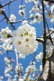 Flor de cerejeira branca Fotografia de Stock