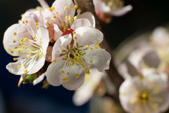 A flor de cerejeira brilhante floresce o close up no fundo escuro Imagens de Stock