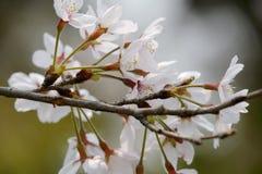 Flor de cerejeira brilhante no ramo Fotos de Stock