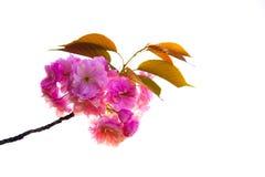 Flor de cerejeira com fundo branco Imagem de Stock