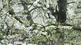 Flor de cerejeira com neve de queda filme