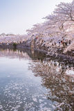 Flor de cerejeira com opinião da associação Imagens de Stock Royalty Free
