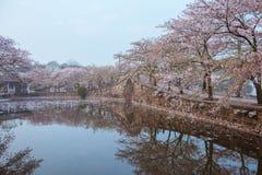 Flor de cerejeira com ponte e lagoa Fotos de Stock