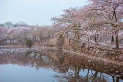 Flor de cerejeira com ponte e lagoa fotografia de stock