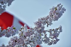 A flor de cerejeira contra a bandeira de Canadá imagens de stock royalty free