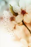 Flor de cerejeira cor-de-rosa Imagem de Stock Royalty Free