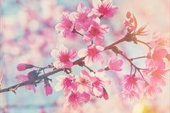 Flor de cerejeira cor-de-rosa borrada com foco e bokeh macios Imagens de Stock Royalty Free