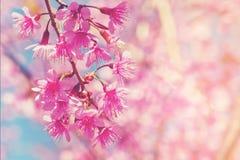 Flor de cerejeira cor-de-rosa borrada com foco e bokeh macios Imagem de Stock
