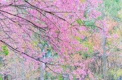 Flor de cerejeira cor-de-rosa, flor de sakura Fotos de Stock